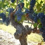 raisins mures